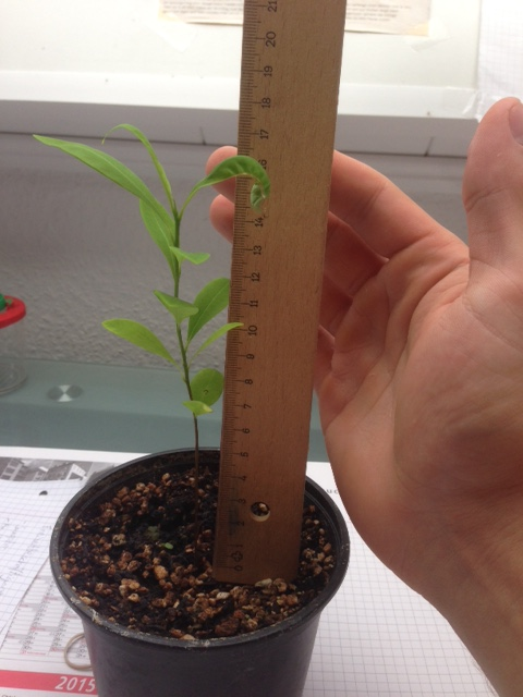 Six-month-old Erythroxylum novogranatense coca having 13-17 cm height